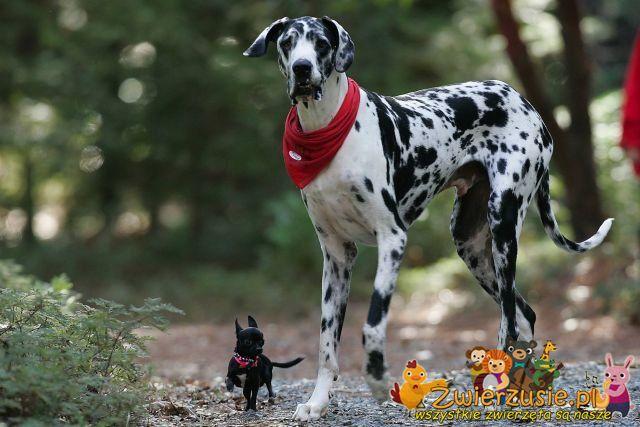 Dog niemiecki Gibson