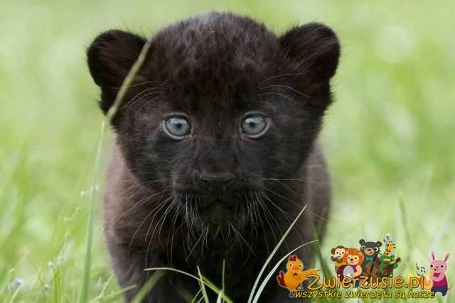 Czarna Puma Zwierzusiepl Wszystkie Zwierzęta Są Nasze