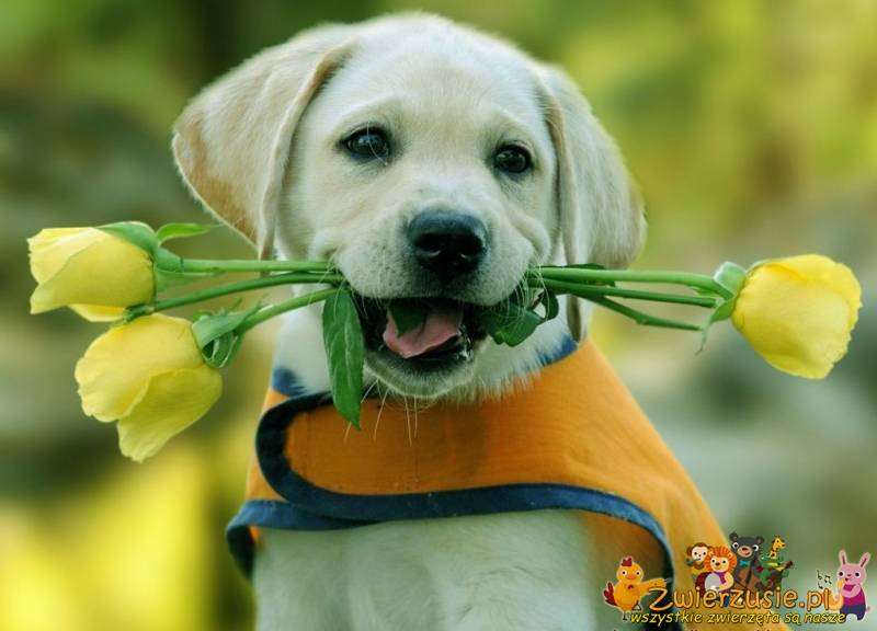 Pies i żółte tulipany