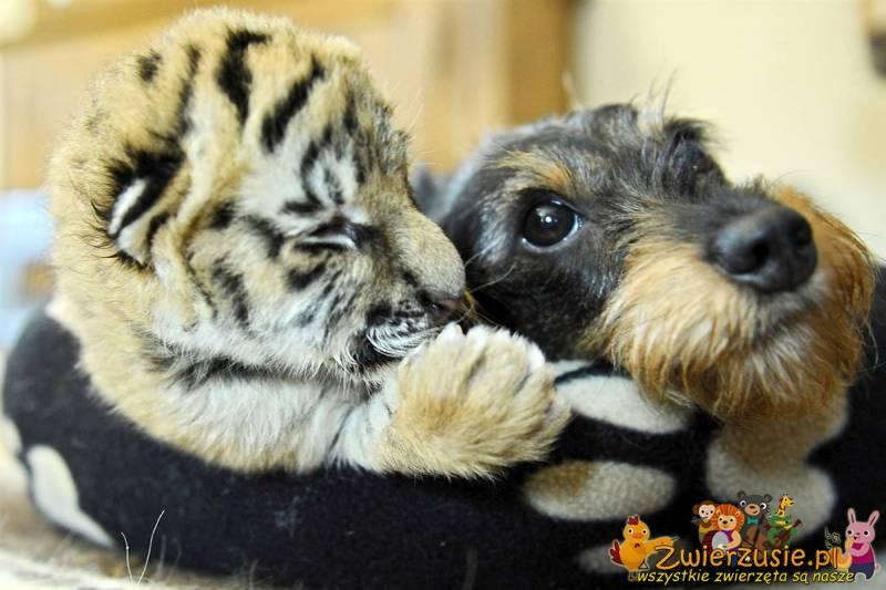 Tygrysek i sznaucer