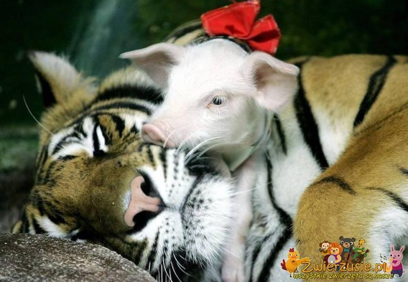 Świnka i tygrys