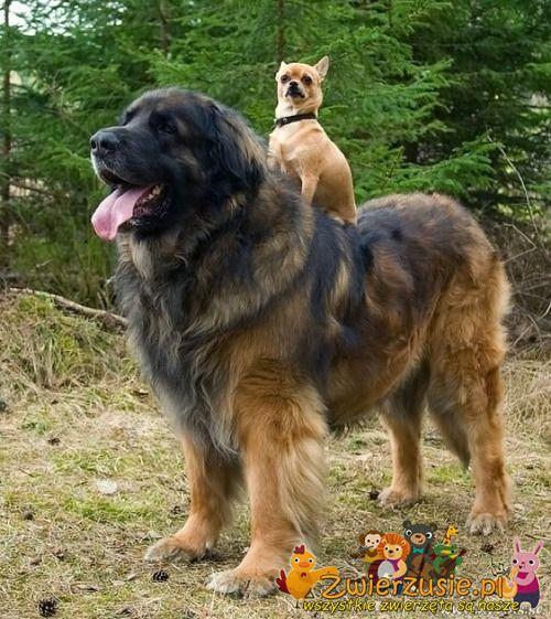 Bernardyn i chihuahua