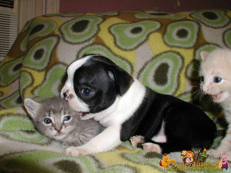 Buldog i kociaki