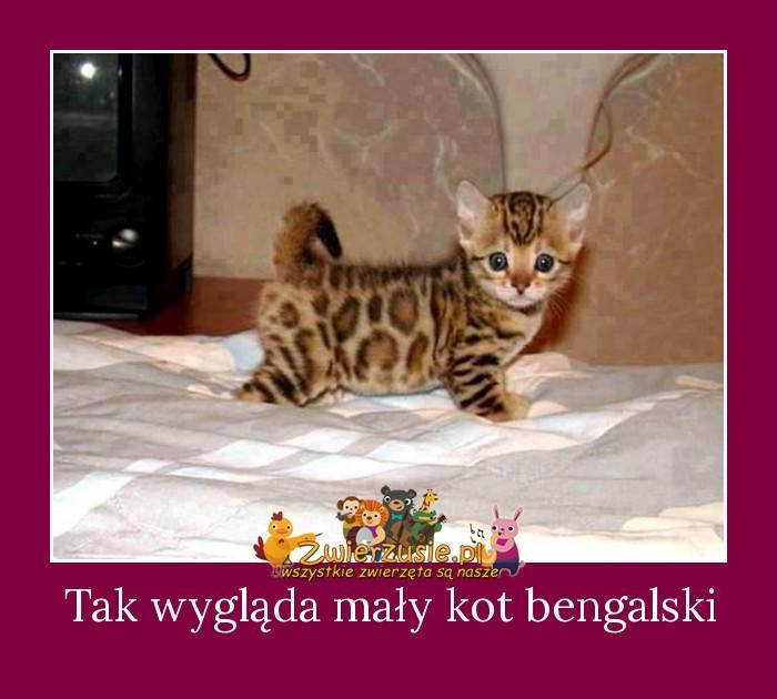 Bardzo dobra Tak wygląda mały kot bengalski - Zwierzusie.pl - Wszystkie ZL47