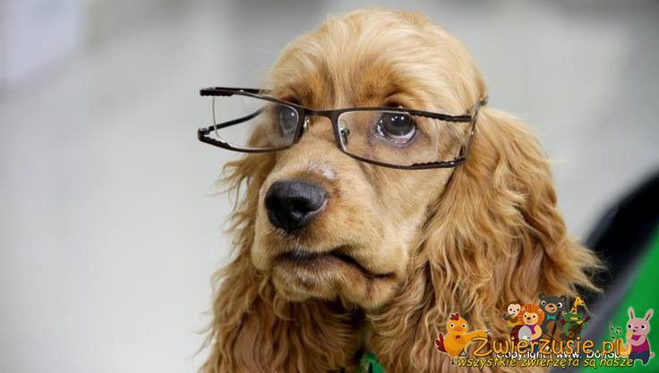 Spaniel w okularach