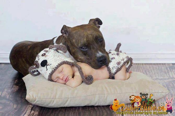 Pitbull z dzieckiem