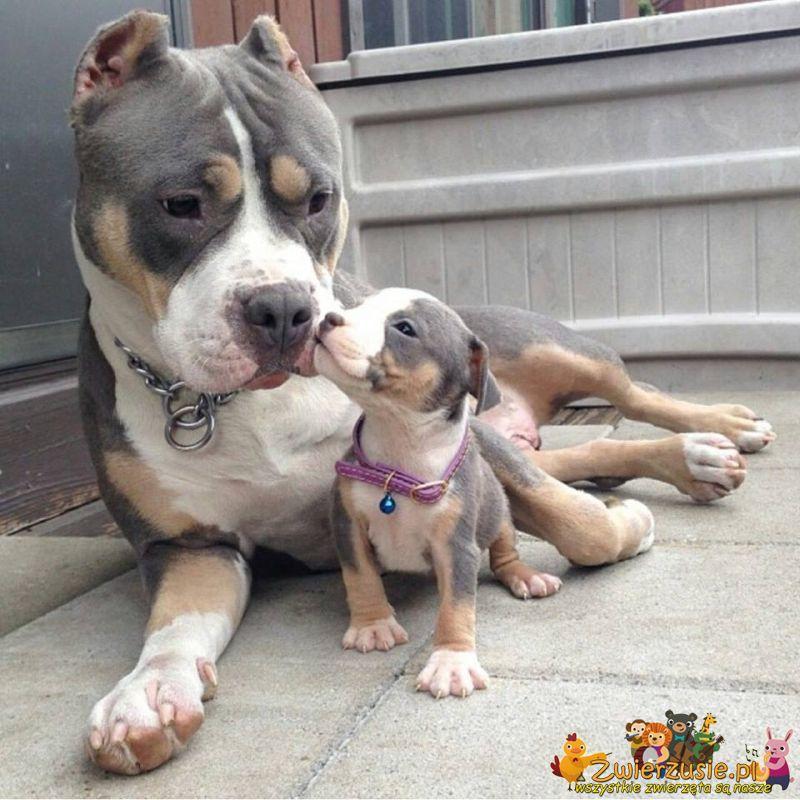 Słodki pitbull